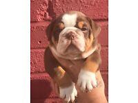 Kc reg British bulldog puppies