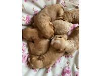 F1 Stunning Cavapoo Puppies For Sale