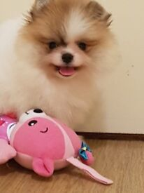 Gorgeous miniature Pomeranian girl in lovely parti color