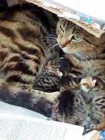 Pretty Bengal kittens