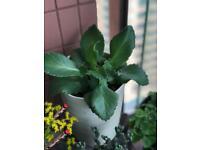 My cute succulent