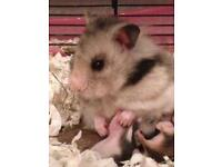 Pedigree Longhaired Syrian Hamsters