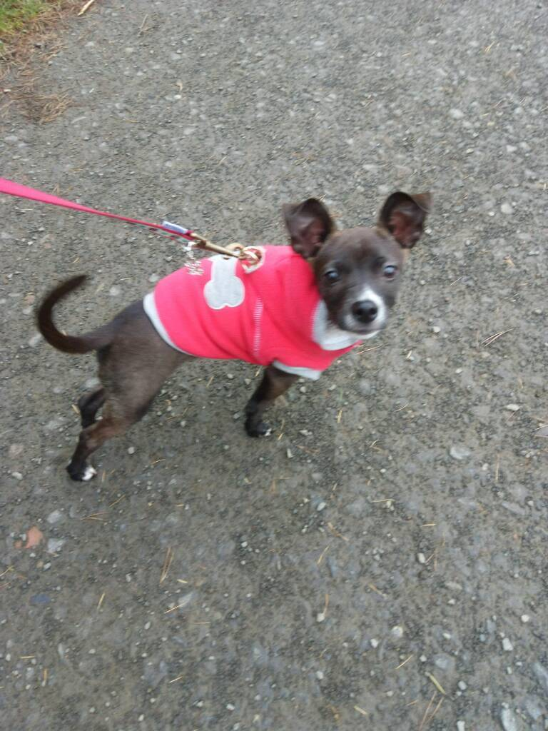 6 Month Old Male Chihuahua Mix Puppy   in Newbiggin-by-the-Sea ...