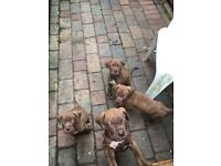 Ultimate Mastiff Puppies Ready Now