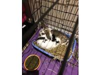 Male and female rabbit (please read ad to understand price)