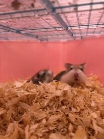2 dwarf hamsters beautiful,
