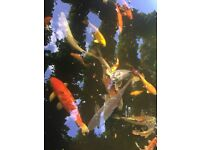 Large selection of Koi carp from 4- 20 inches