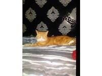Ginger tom cat free to good home