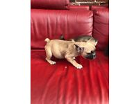 Stunning French bulldog puppies for sale ready now