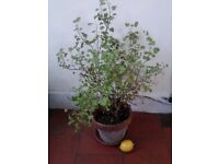 garden pot - terracotta with sweet orange geranium