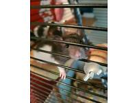 Rat babies ready to leave now