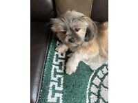 Lhasa Apso And Poochon Puppies For Sale