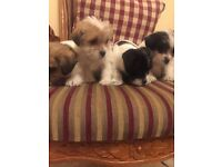 Pomeroy Area - Shih Tzu & Miniture Jack Russle Mix Puppies