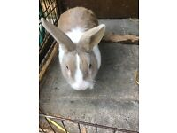 Free Rabbit to good home
