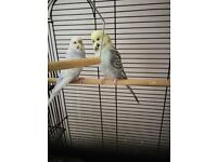 Budgie Pair and cage