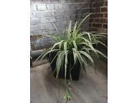 Spider Plant and Echium Plants in Black Outdoor Planters