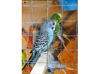 Birds - Budgies for sale (2 for £25)