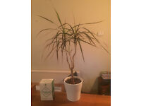 House plant - Dracaena Marginata - Madagascar Dragon Plant
