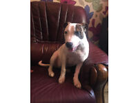 staffy female 4 months old