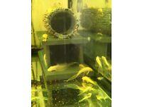 Albino longfin bristlenose plecos