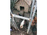 9 laying hens for sale