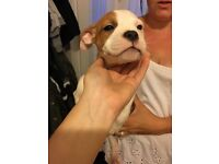 Boxer cross staffy puppy ready now