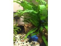 Male betta blue