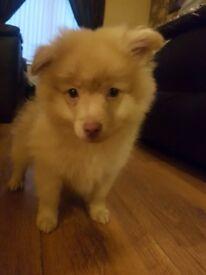 Pomeranian Puppies (1 Boy)