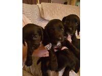 Cocker dachshunds puppys