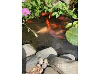 Pond goldfish 40 or more free to collect