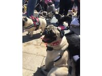 1yr old fawn pug kc registered