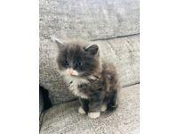 Beautiful Blue/Grey & White Long Hair Kitten
