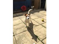 Jack Russell 9 months old free to good home