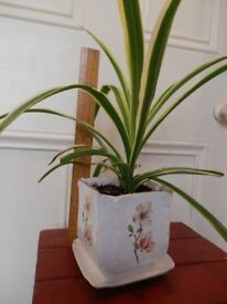 Spide plant Chlorophytum Pendent HOUSE PLANT with Ceramic Planter