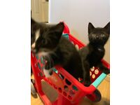 Female and Male Kitten looking for forever home