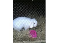 Lovely white lop-eared buck rabbit looking for loving home.