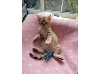 snow bengal male kitten for sale ..