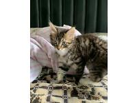 Long hair tabby kitten price can be negotiated