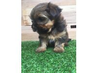 2 YORKSHIRE TERRIOR PUPPIES FOR SALE