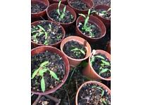 Tomato seedlings 50 penny organic tomato