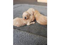 Adorable F1B miniature cockerpoo puppies