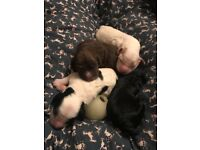 Gorgeous cockerpoo puppies ONLY TWO BOYS LEFT!!!!