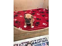 Jack Russell x French bulldog puppies