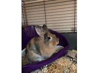 Femal rabbit and indoor cage for sale