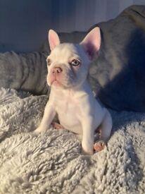 Platinum lilac & tan french bulldog girl