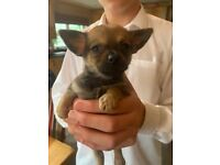 Tiny Chihuahua X Puppies *ONLY 1 LEFT*