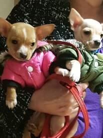 Chihuahua pups boy n girl 10 wks