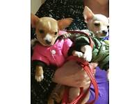 Chihuahua pups boy n girl 10 wks