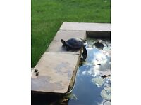 Reward for missing turtle