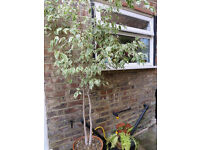 FREE 6' mature houseplant (weeping fig) in terracotta pot